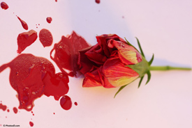 Blood Rose - Photo courtesy of Photos8.com